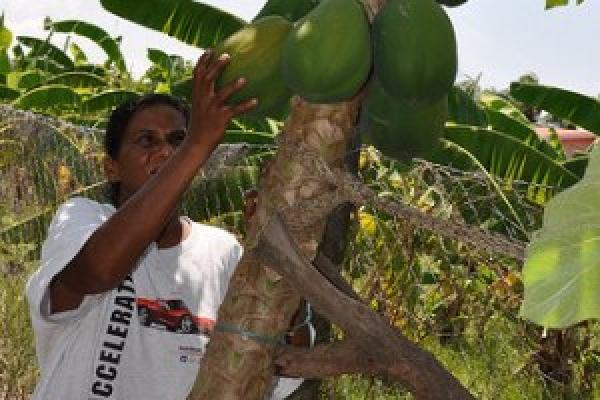 Bhimwattie Sahid cosecha una papaya en su huerta de Guyana. La seguridad alimentaria es motivo de mayor preocupación en el Caribe debido a que la variabilidad climática afecta a la agricultura. Crédito: Desmond Brown/IPS