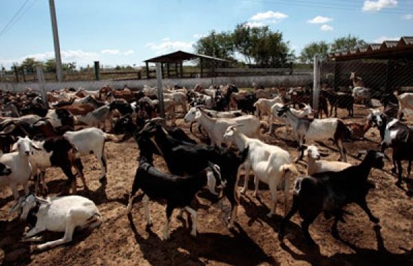 Las cabras, como las de la finca Carolina, son una fuente económica y alimentaria en alza en Cuba