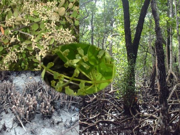 Los manglares del archipiélago cubano y el cambio climático