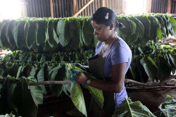 La joven Yamilé Venero ensarta hojas de tabaco sobre largos cujes (palos), para su secado natural, en la finca Valle, en el municipio de San Juan y Martínez, meca de este producto emblemático de Cuba.