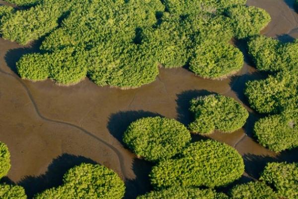 Los manglares de Reserva de la Biosfera Marismas Nacionales, los más importantes de las costas del Pacífico mexicano, pueden perderse si se construye la hidroeléctrica Las Cruces, advierten ambientalistas y habitantes de la zona.