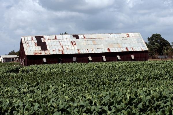 Yamilé Venero enfile des feuilles de tabac sur de longues perches pour le séchage naturel dans la ferme de Valle, dans la municipalité de San Juan y Martínez, le centre de production de cette culture cubaine par excellence.