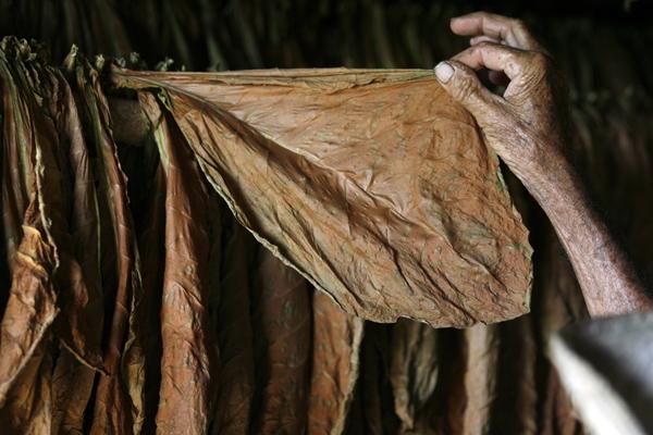 Cuba exportó 400.000.000 de dólares en tabaco en 2007.