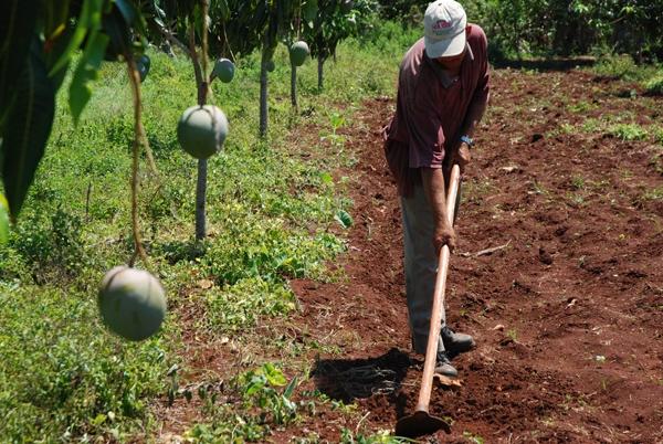 La entrega de tierras ociosas ha sido la medida reciente más importante vinculada al sector agropecuario en Cuba.