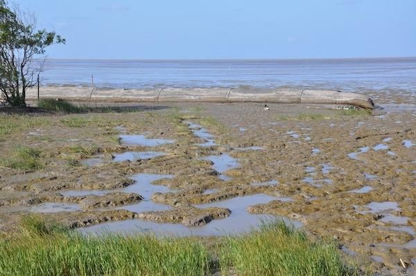 En primer plano, hierbas espartinas. A lo lejos, tubos geotextiles que ayudan a los mangles a regenerarse naturalmente.
