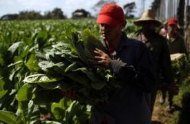 Tabacaleros cubanos dudosos sobre apertura con Estados Unidos